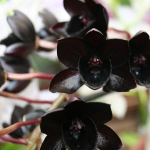 Schwarze Orchidee2
