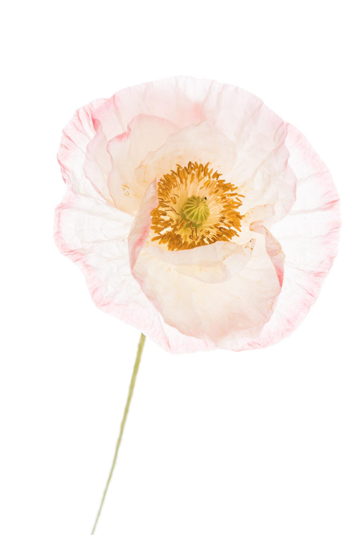 Blumen Blume In Leicht Rosa Sehr Zart Shutterstock 446454367