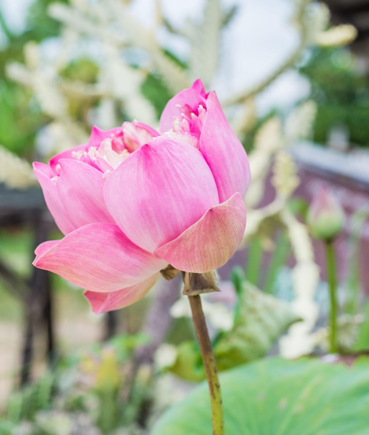 Blumen Einzelne Blume In Rosa Shutterstock 446457079