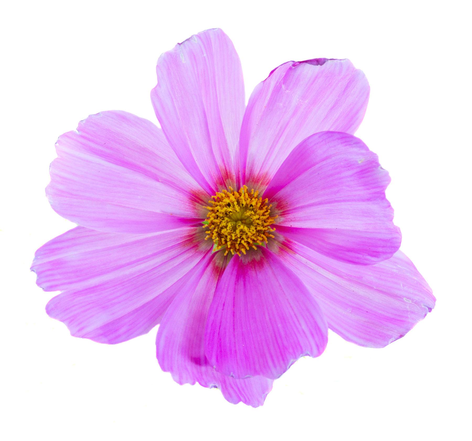 Blumen Einzelne Blume In Rosa Shutterstock 446893369