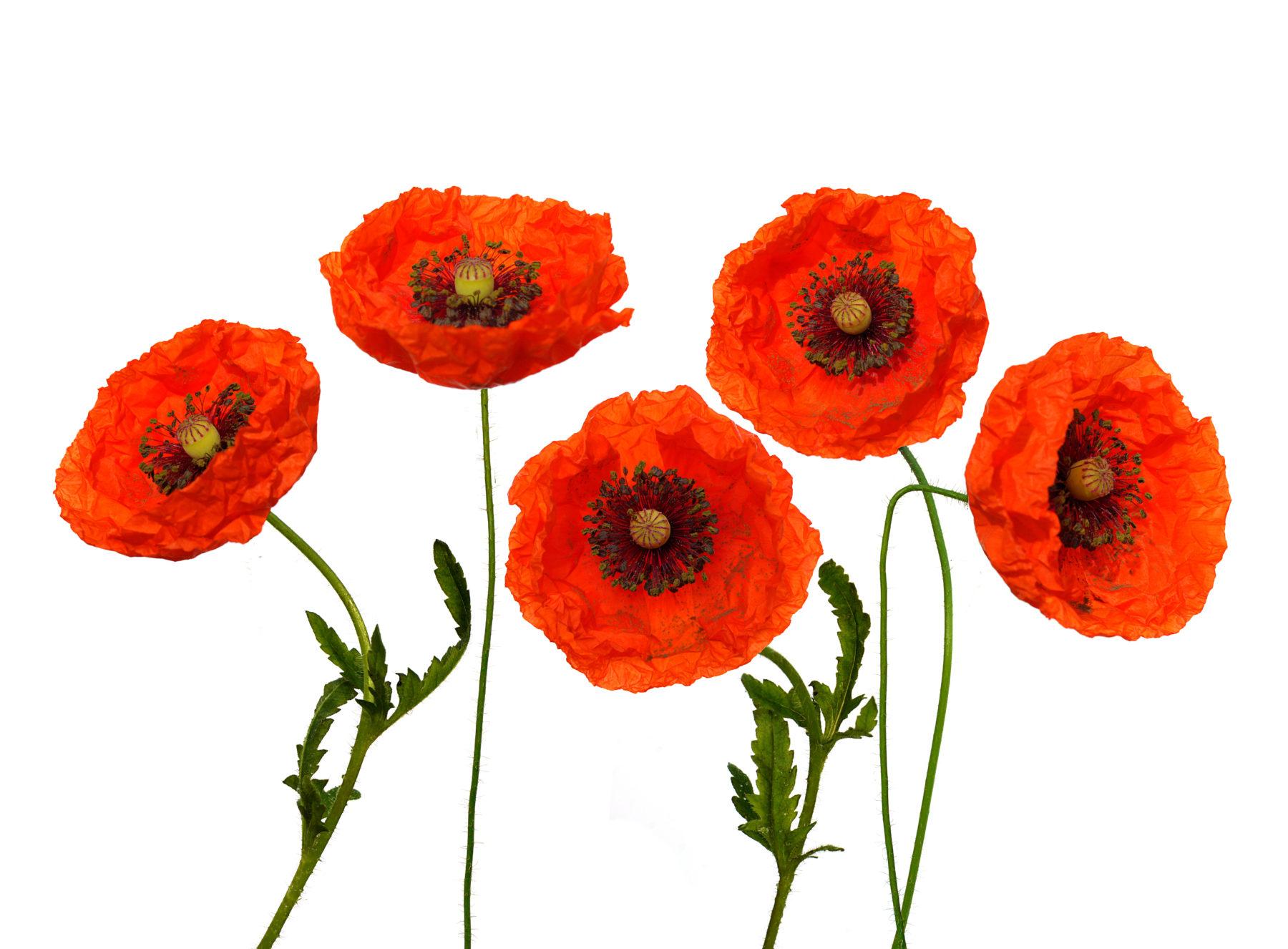 Blumen Klatschmohn Shutterstock 88385374