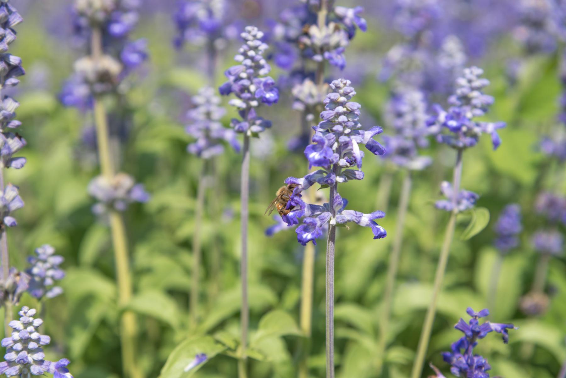 Blumen Lavendel Shutterstock 444305545